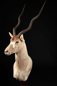 MASAI GALLERY - addax - Animal Naturalisé