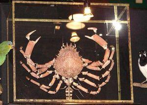Design Et Nature -  - Araignée De Mer