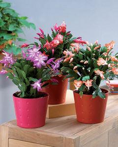 Willemse -  - Cactus