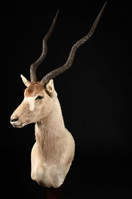 MASAI GALLERY - Animal naturalis�-MASAI GALLERY-Addax