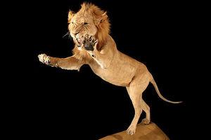 MASAI GALLERY - lion - Leone